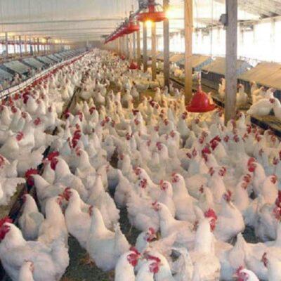 طول عمر و زمان تخم گذاری مرغ